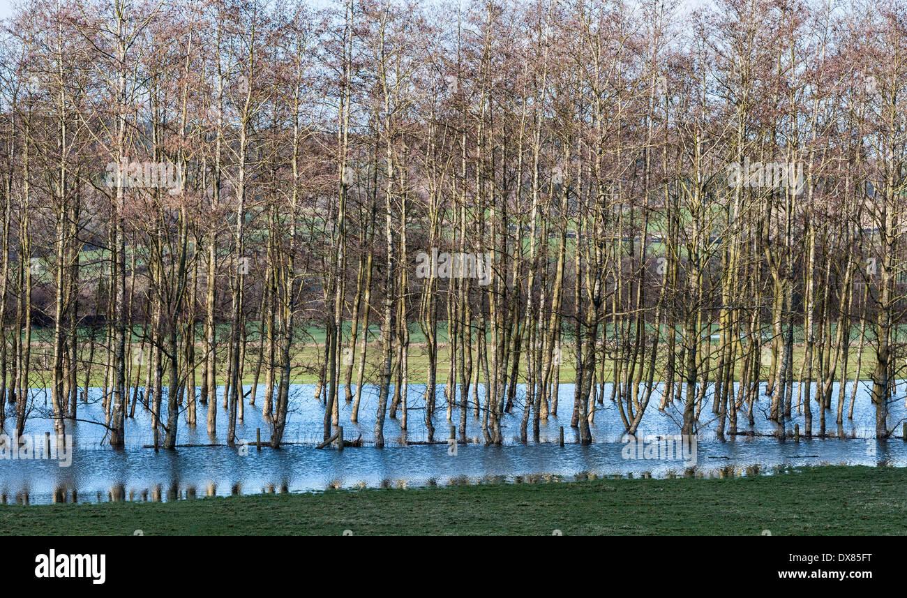Un ceduo di argento di betulle in piedi in un campo inondato in Herefordshire, Regno Unito Immagini Stock