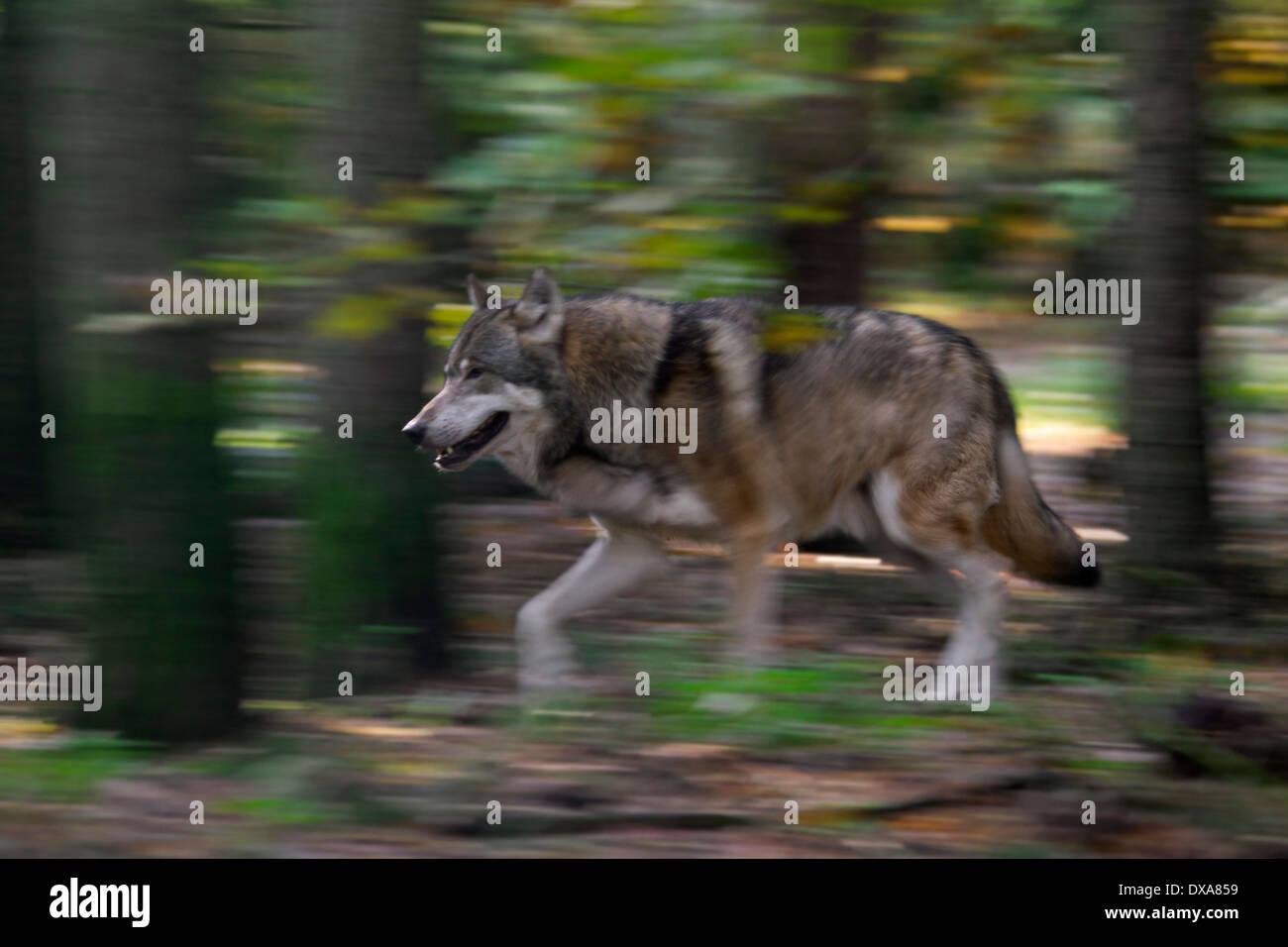 Eurasian lupo (Canis lupus lupus) in esecuzione nella foresta che mostra la sfocatura in movimento Foto Stock