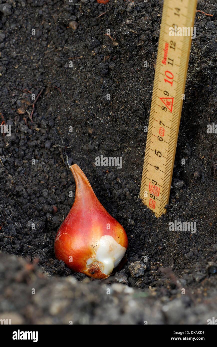Bulbo di tulipano Immagini Stock