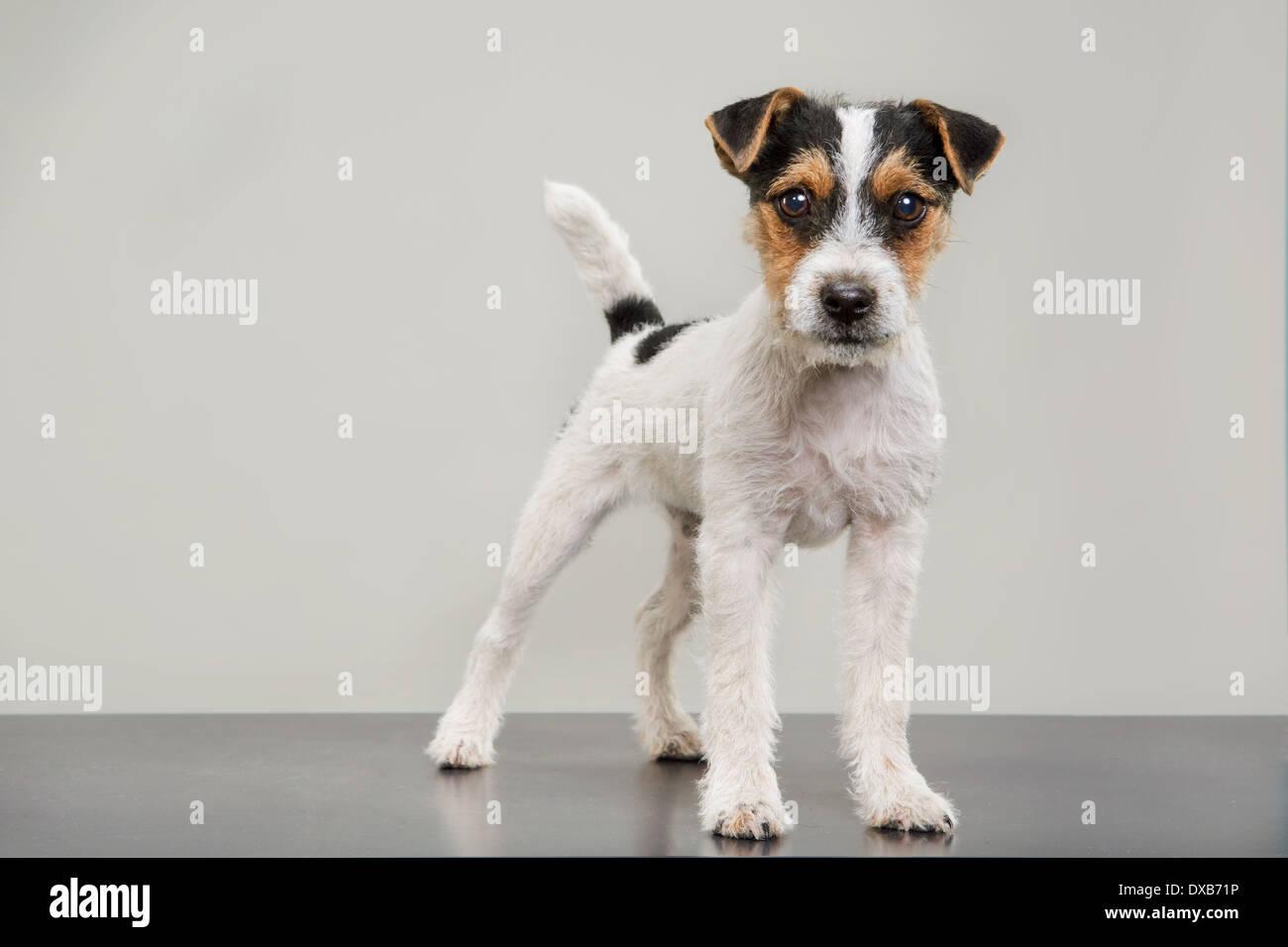 Ritratto in studio di Jack Russell Terrier cucciolo standing, fissando la fotocamera. Immagini Stock