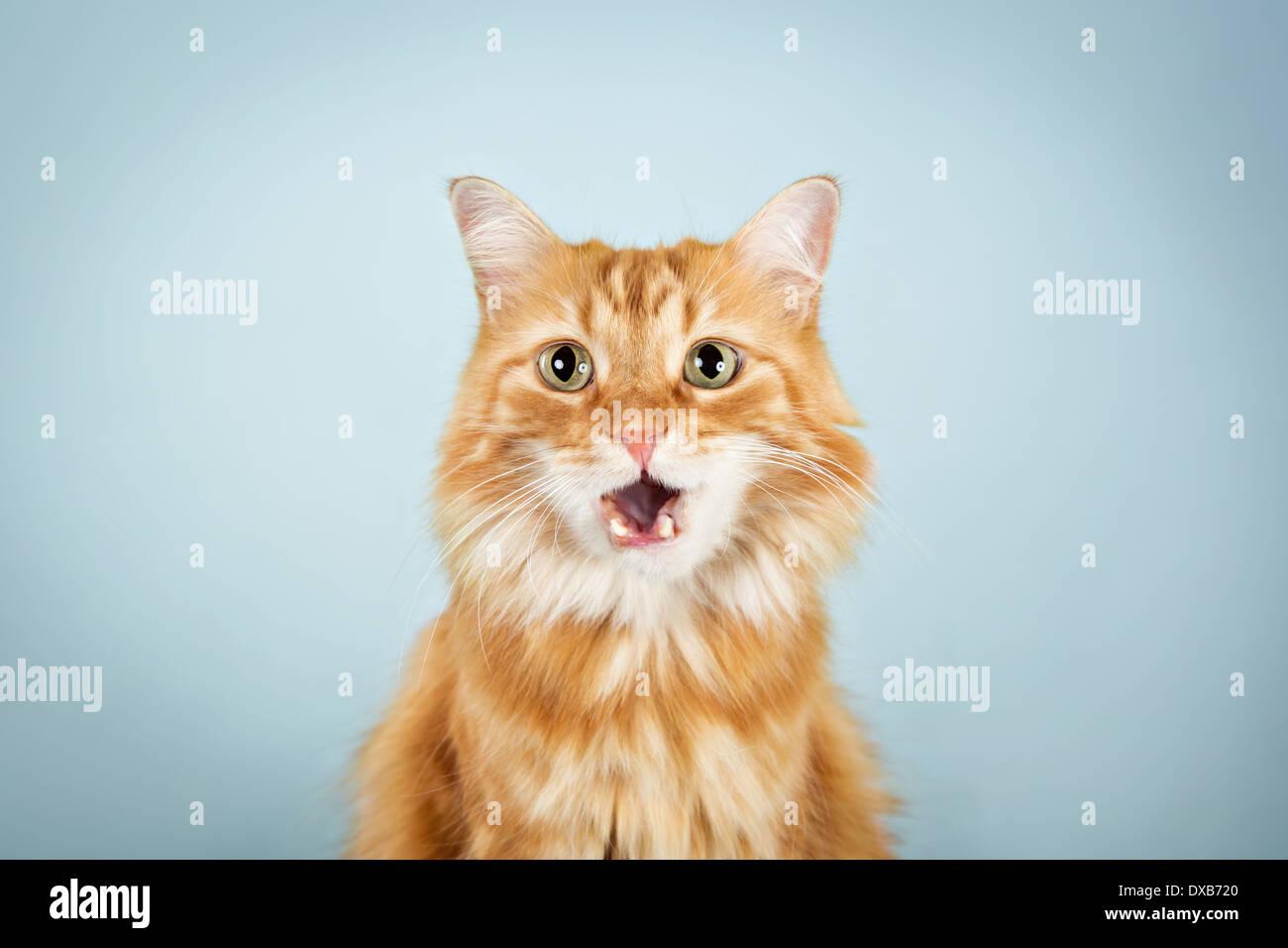 Simpatico gatto arancione con la bocca aperta, fissando la fotocamera. Immagini Stock