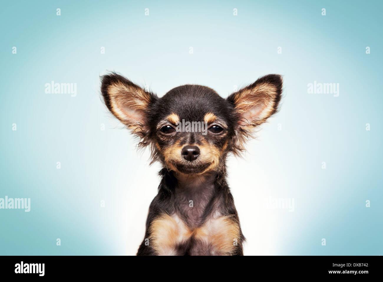 Chihuahua cane sorridente, fissando la fotocamera. Immagini Stock