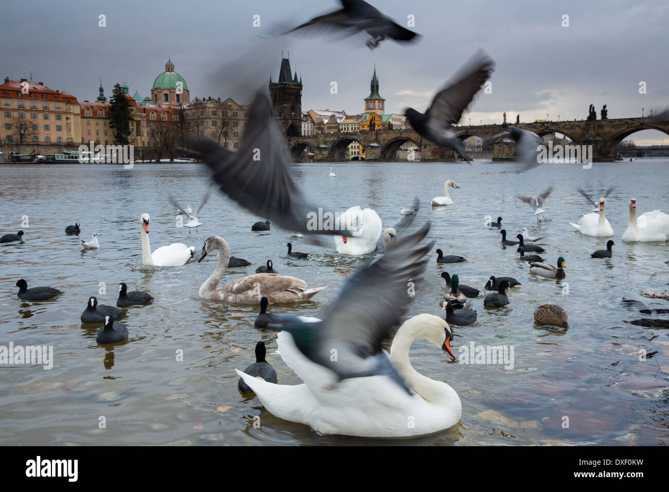 Cigni e gabbiani sul fiume Moldava con Charles Bridge al di là, Praga, Repubblica Ceca Immagini Stock