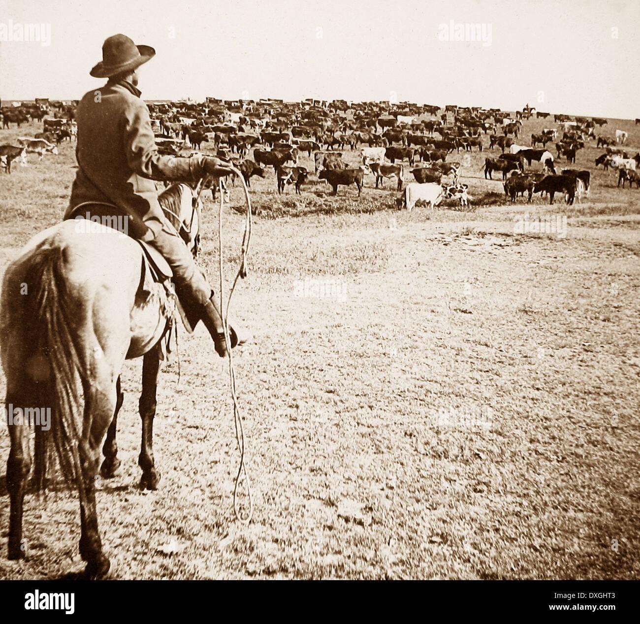 Bovini di round-up Sherman Ranch Geneseo Kansas USA primi 1900s Immagini Stock