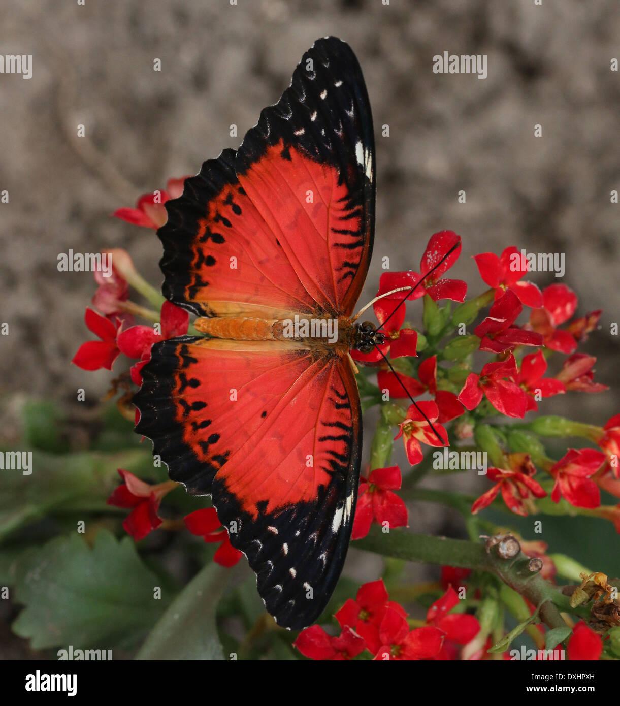 Close-up del rosso asiatici Lacewing butterfly (Cethosia biblis) foraggio su un fiore, ali aperte Immagini Stock