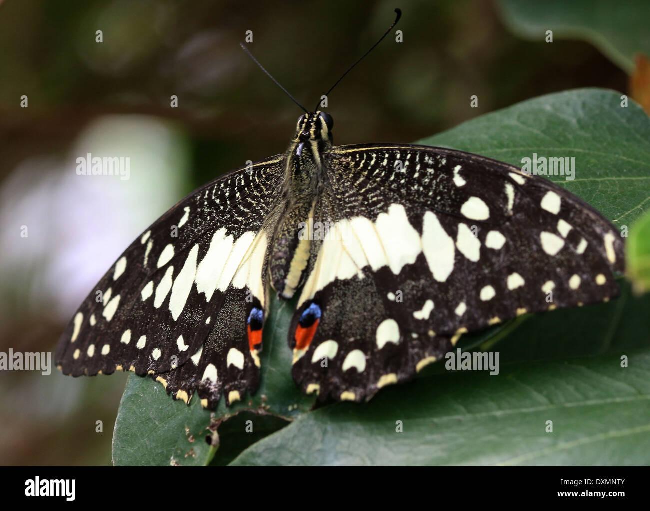 Calce comune Butterfly (Papilio demoleus) a.k.a. Limone, a farfalla a coda di rondine a scacchi, calce a coda di rondine, Piccola farfalla di agrumi Immagini Stock