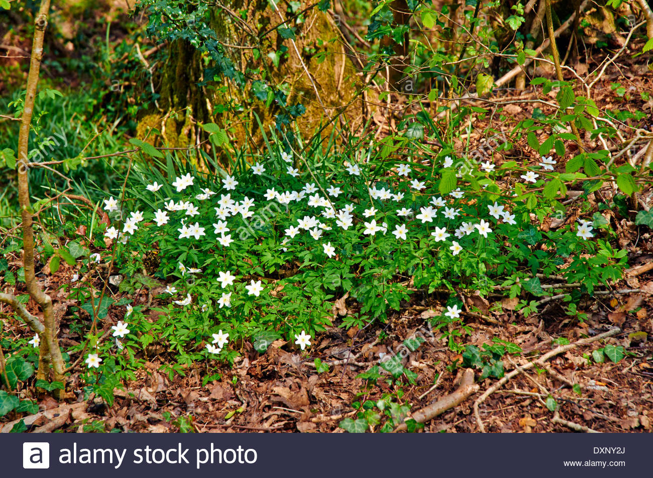 Fiori Bianchi Sottobosco.Legno Anemone Nemorosa Primavera Fiori Bianchi Foglie Verdi