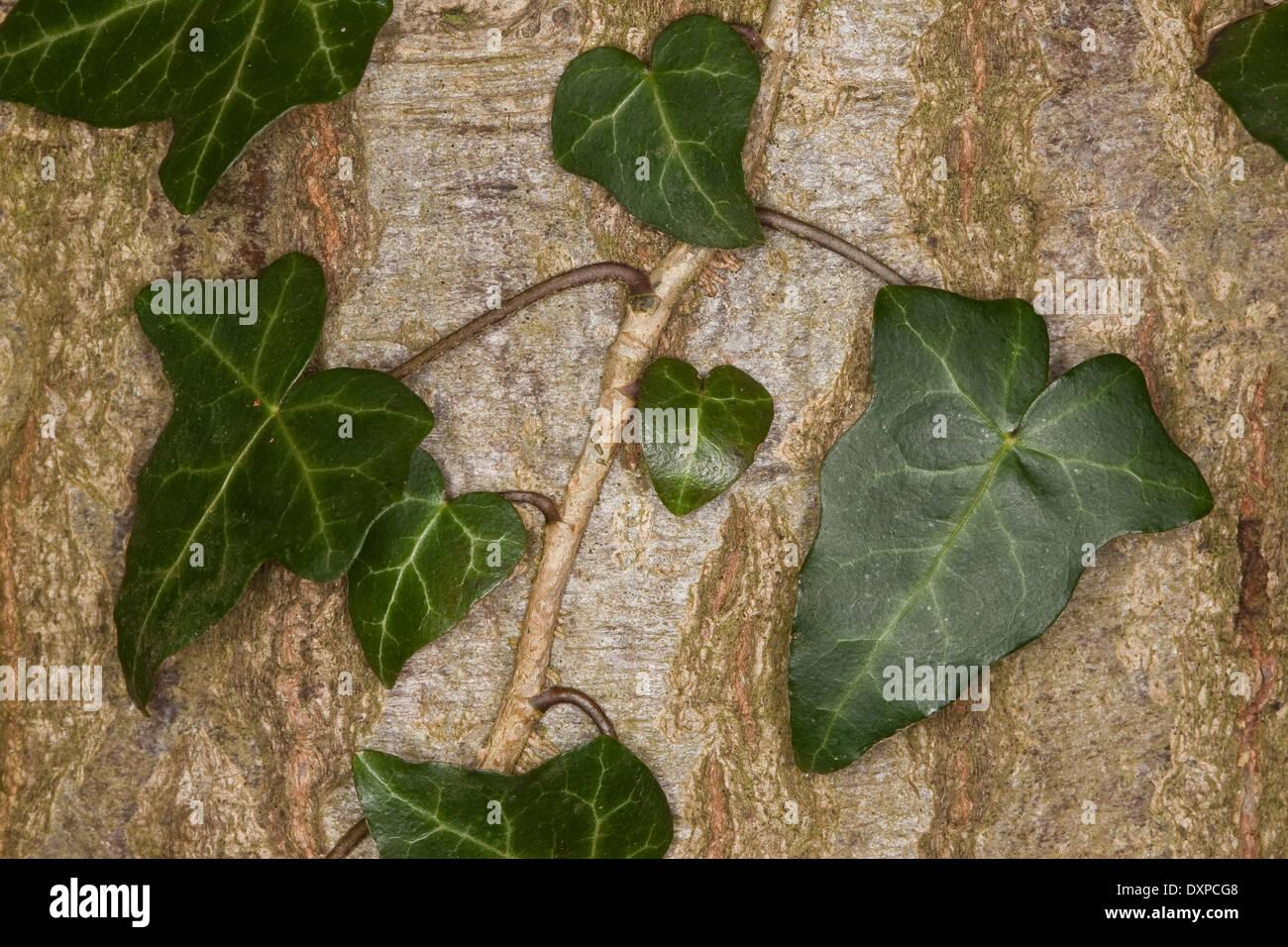 Edera comune, inglese Evy, leaf, foglie Blatt, Blätter, Hedera helix, Lierre grimpant Foto Stock