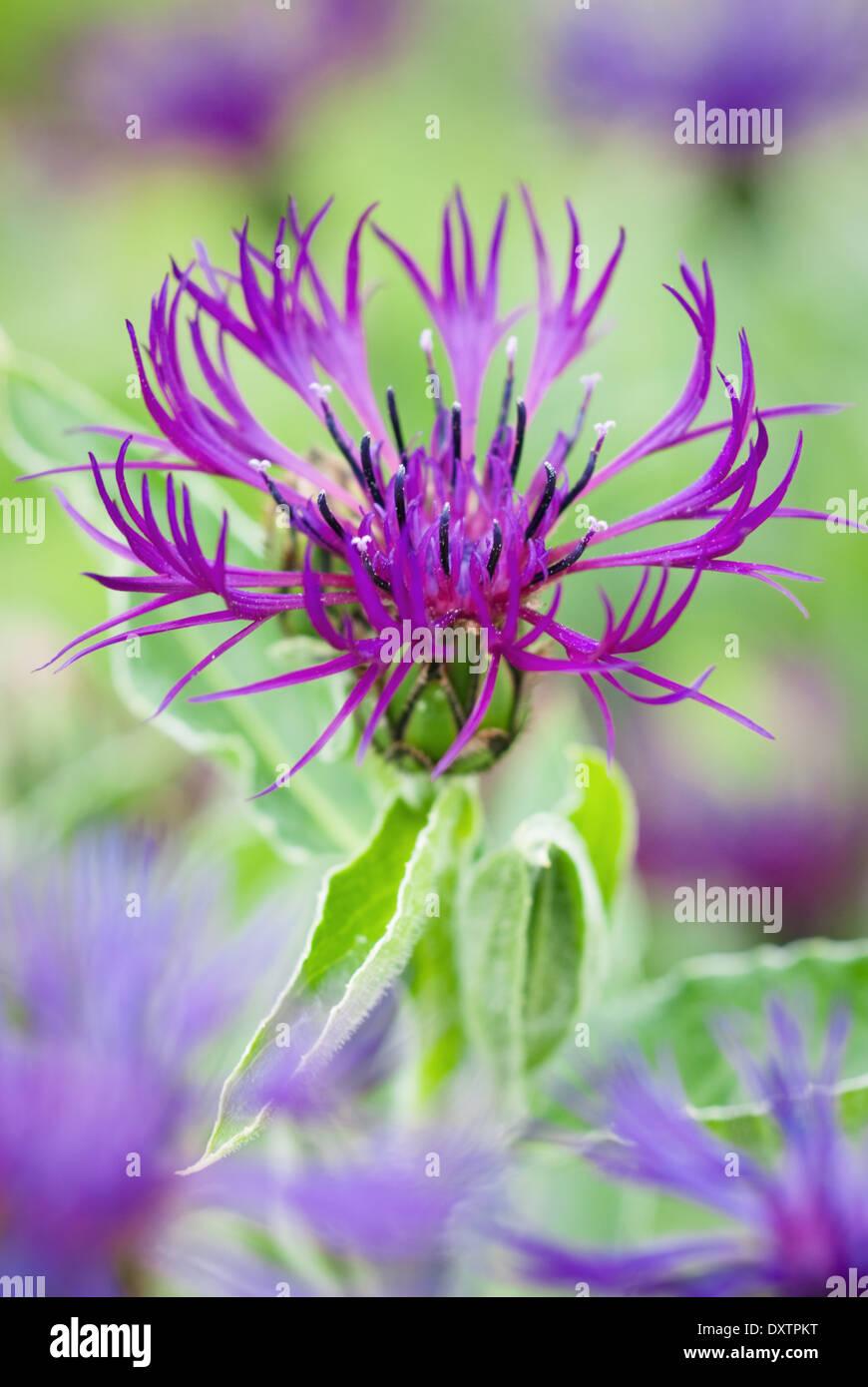 """Centaurea """" Ametista sogno"""", fiore di mais. Perenni, Giugno, estate. Unico fiore viola. Immagini Stock"""