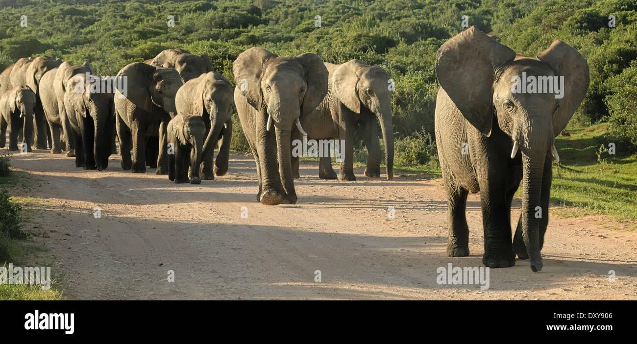 Elephant truppa seguire il leader Immagini Stock