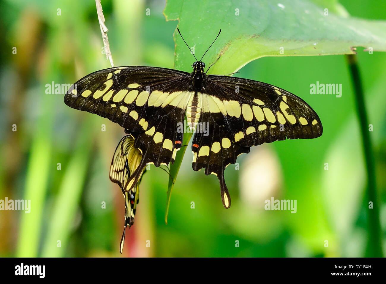 Farfalle tropicali re a coda di rondine (Papilio thoas) Immagini Stock