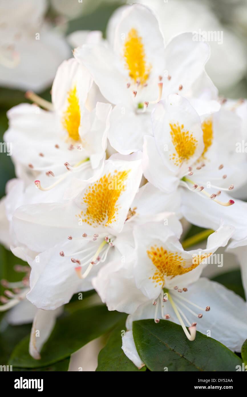 Fiori Bianchi Giugno.Close Up Di Rododendro Madame Masson Azalea Arbusto Giugno