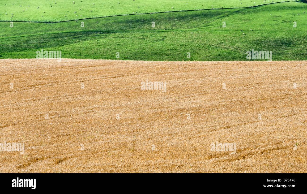 Un maturo campo di grano nei pressi di Knighton, Powys Immagini Stock