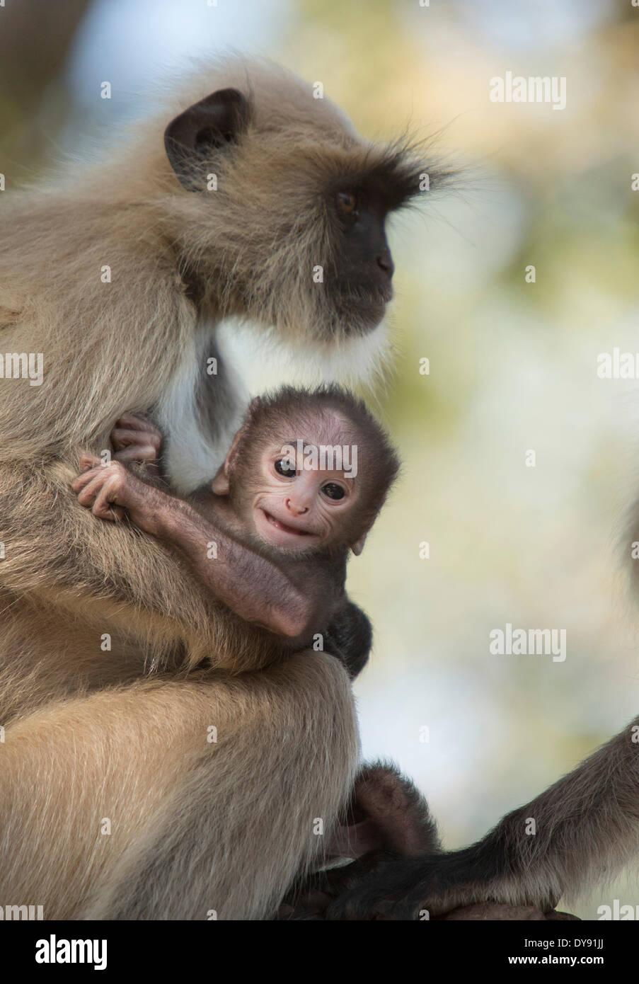 Hulman, Hanuman, indiano, scimmia, Asia, animali, animale femmina, giovani, Immagini Stock