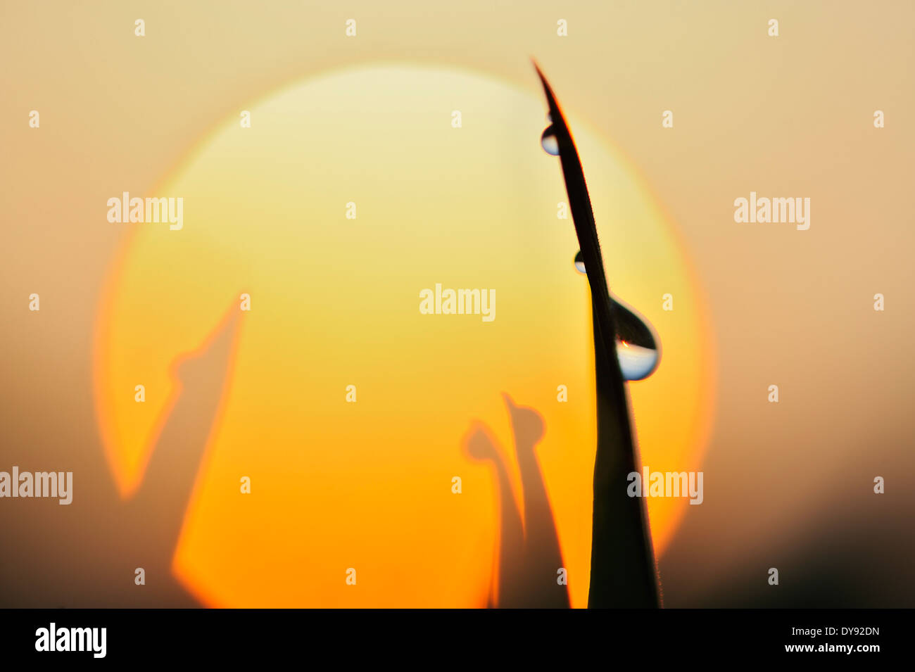 Gocce di rugiada sul filo d'erba a sunrise, close-up Immagini Stock