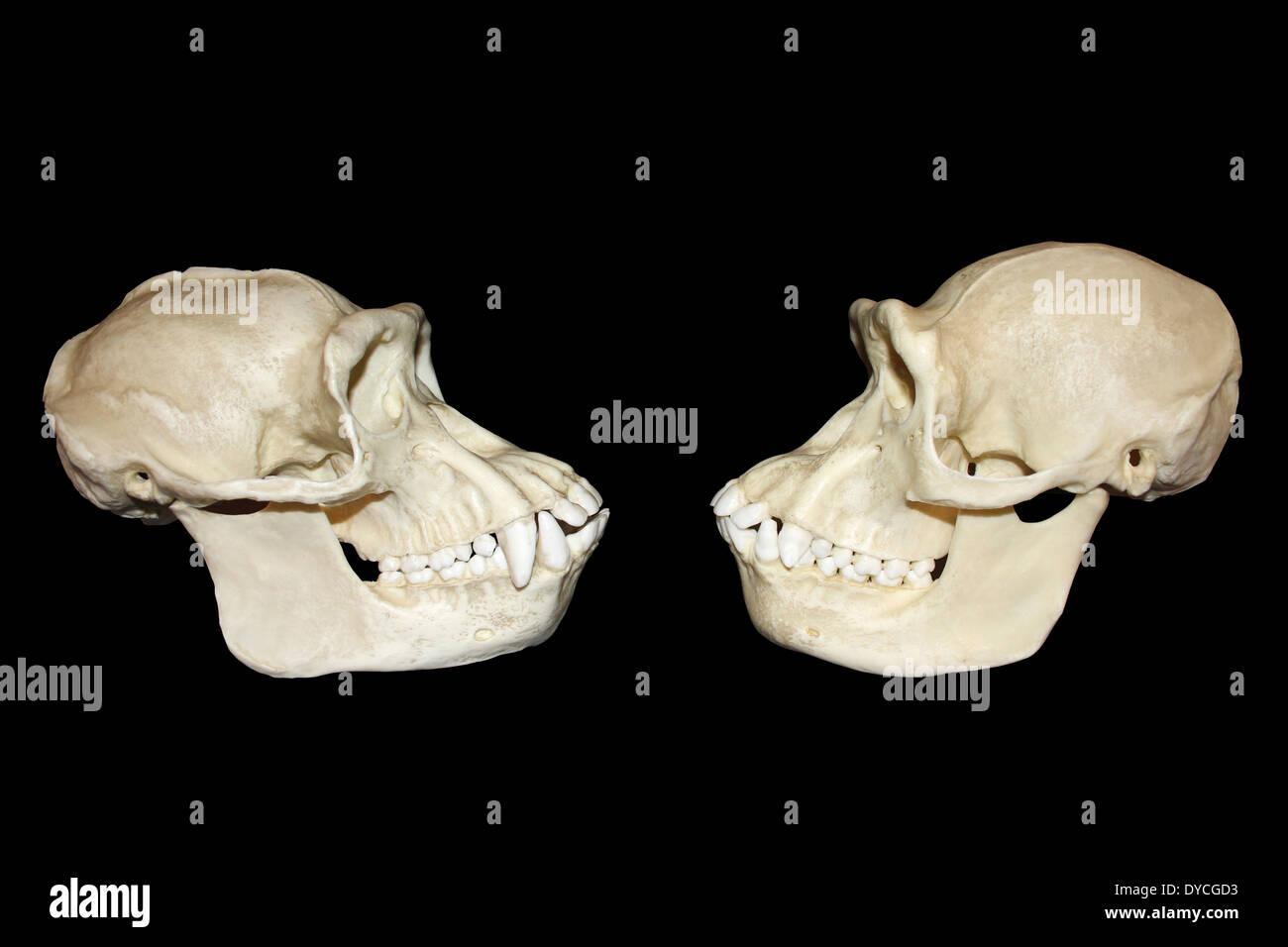 Vista laterale il confronto tra maschio e femmina teschi scimpanzé Immagini Stock