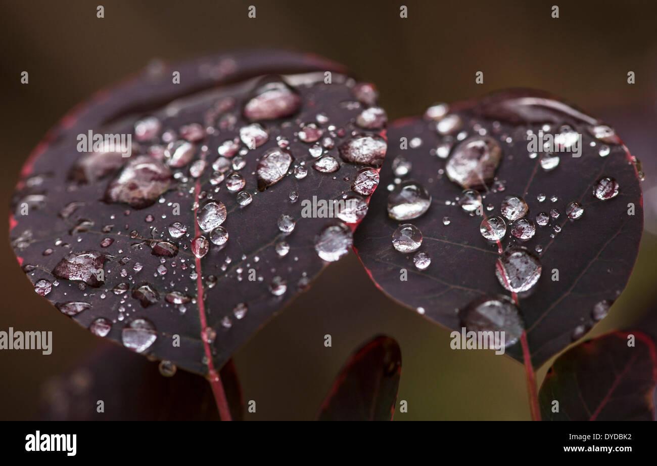 Rainsdrops sulle foglie di una boccola di fumo. Immagini Stock