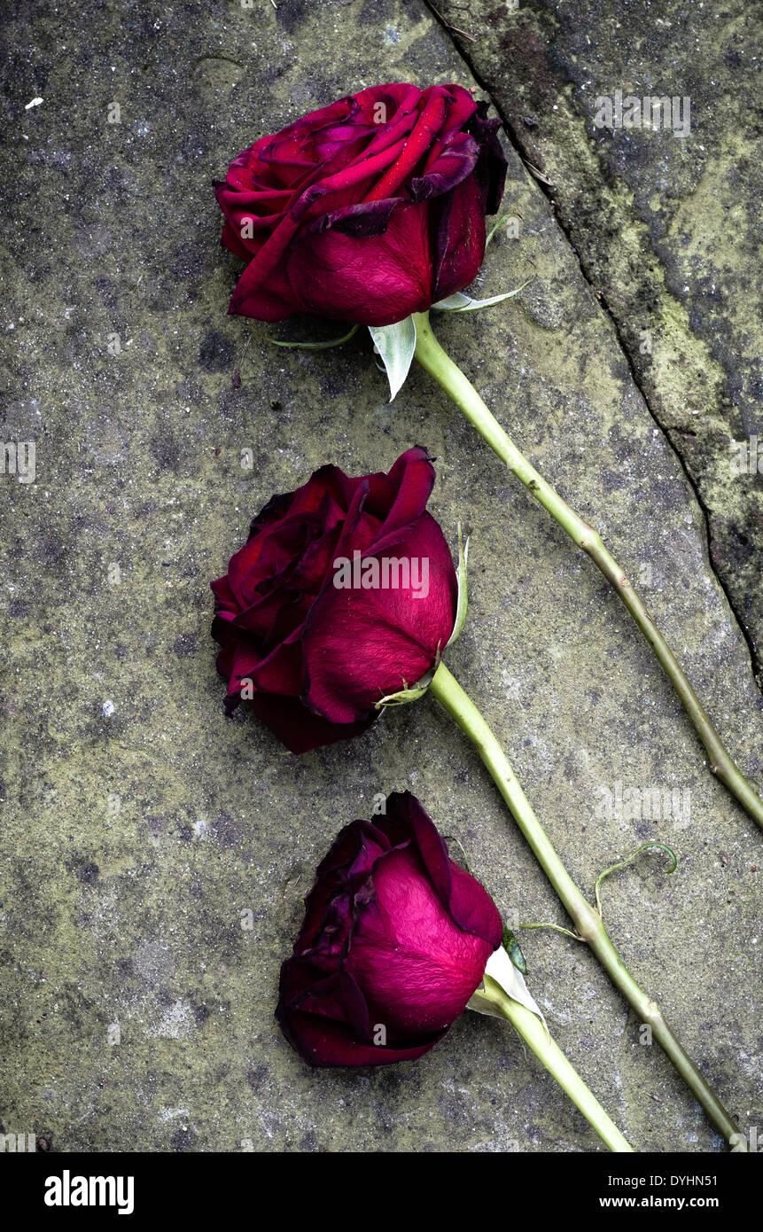 Rose morente lasciato cadere sul pavimento. Immagini Stock