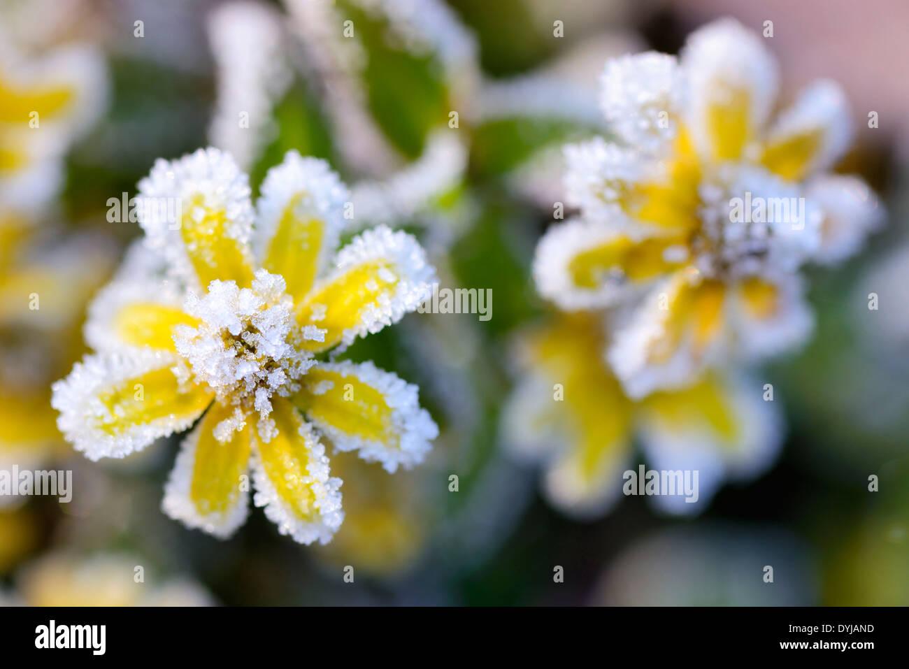 Sanvitalia procumbens, messicano creeping zinnia, in autunno, Husarenknopf (Sanvitalia speciosa) mit Raureif, Frost Immagini Stock