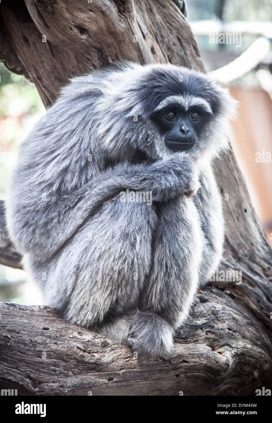 Un abbattuto-cercando Gibbon argenteo in uno zoo Foto Stock