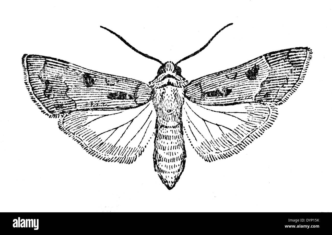 Cuore e Dart (Agrotis exclamationis), Illustrazione da enciclopedia sovietica, 1929 Immagini Stock