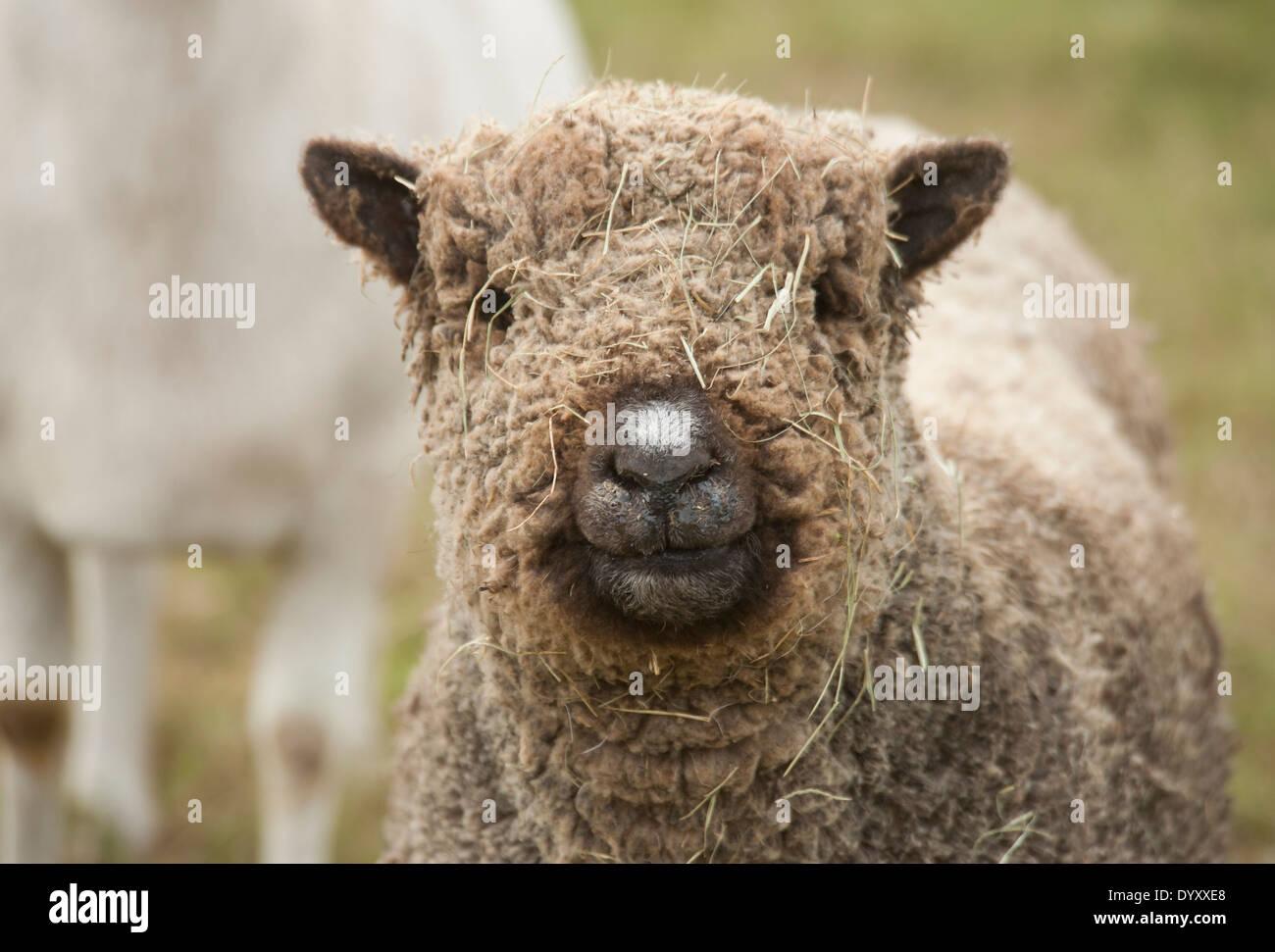 Miniatura Baby Doll pecore con paglia sulla faccia Immagini Stock