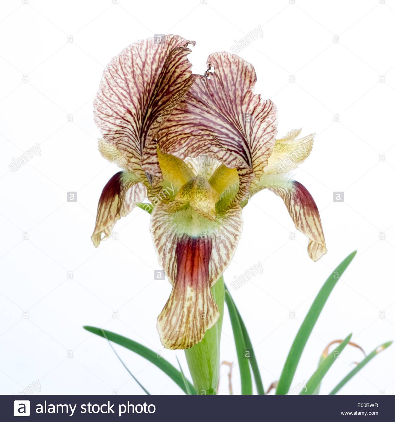 Iris Sari fiore. Immagini Stock