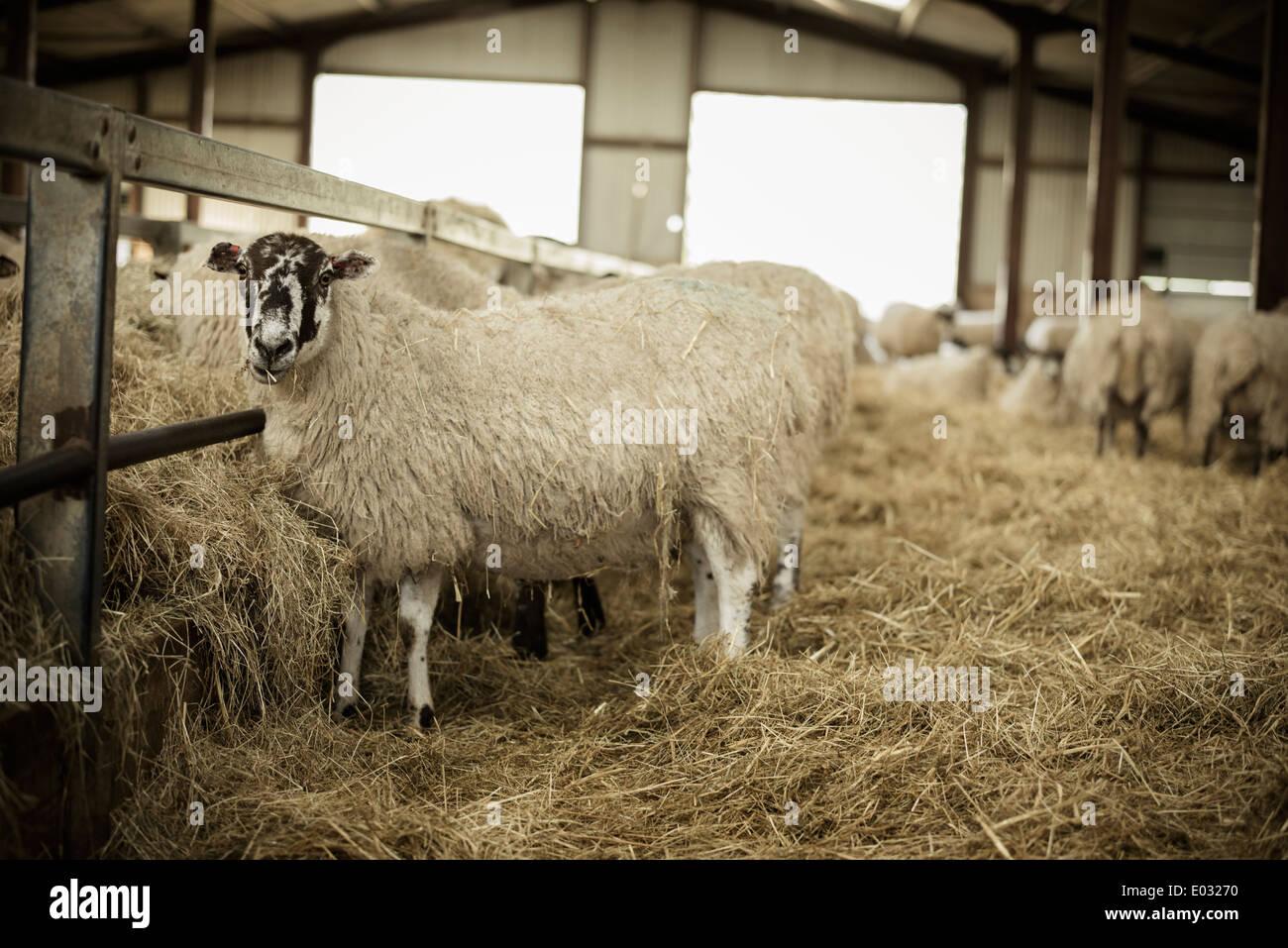 Pecore in un granaio durante figliando tempo. Immagini Stock