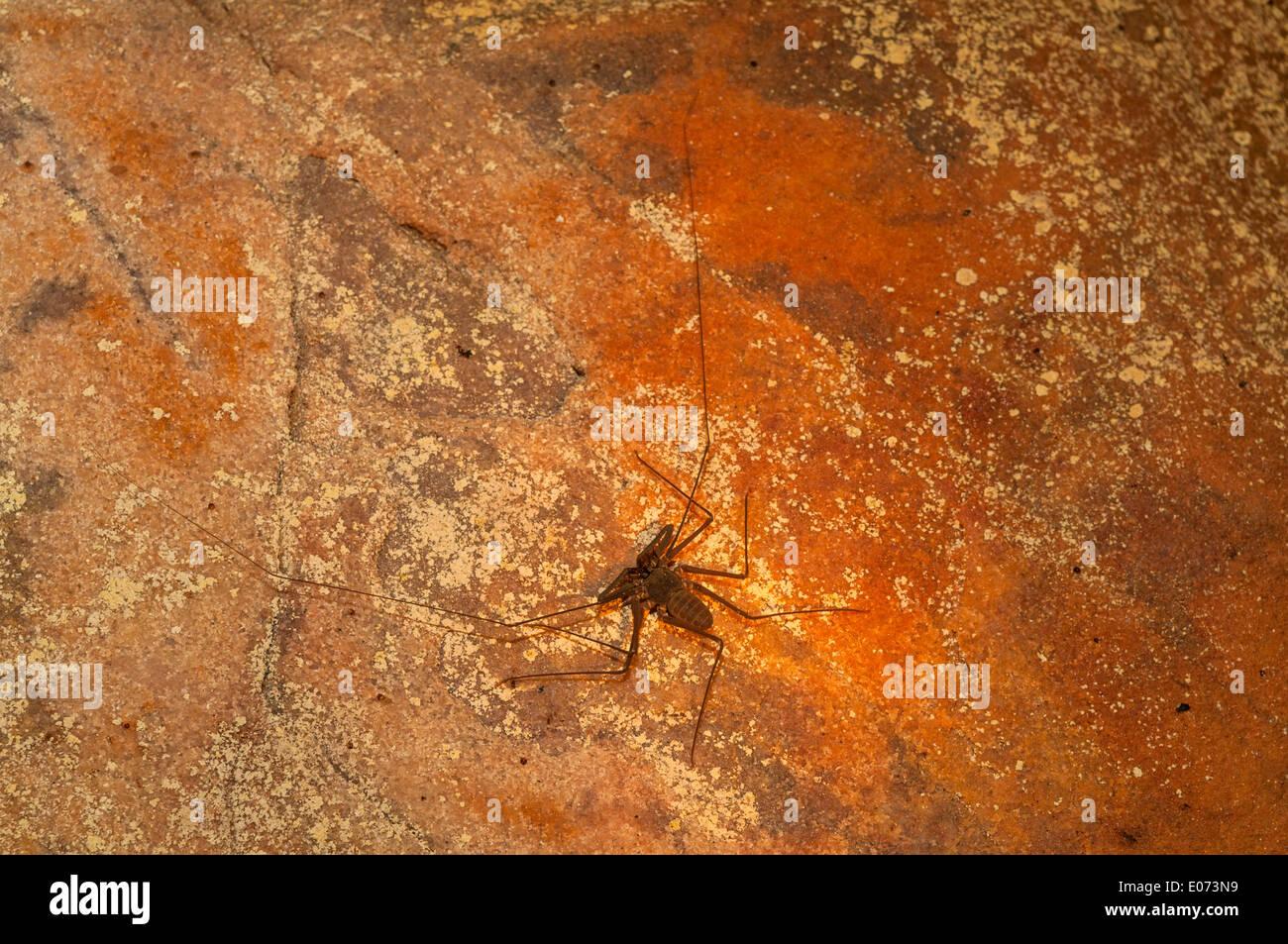 Whip Spider in York grotte, il Kimberley, Australia occidentale, Australia Foto Stock