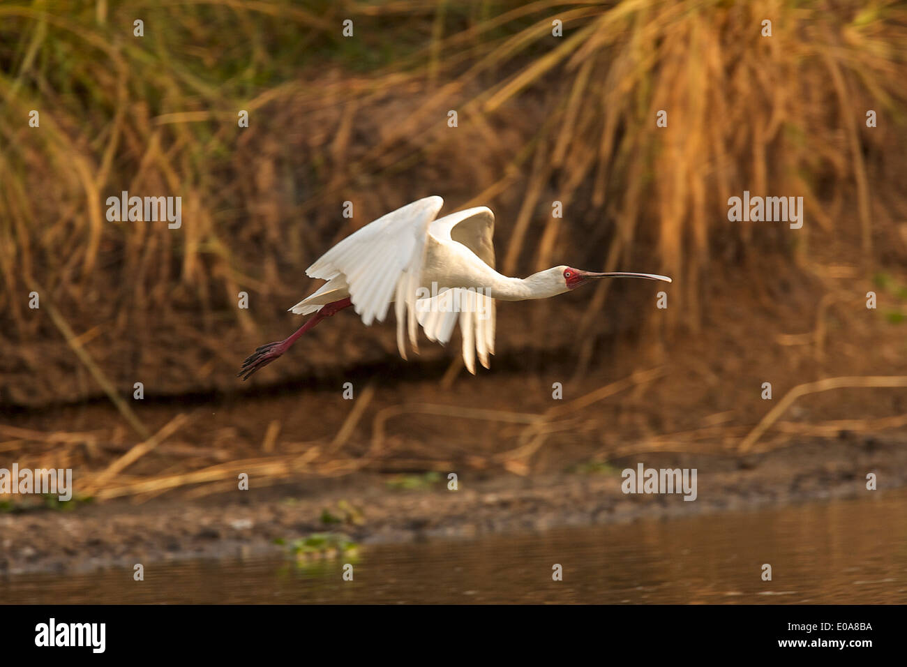 Platalea alba - platalea alba, Parco Nazionale di Mana Pools, Zimbabwe Immagini Stock