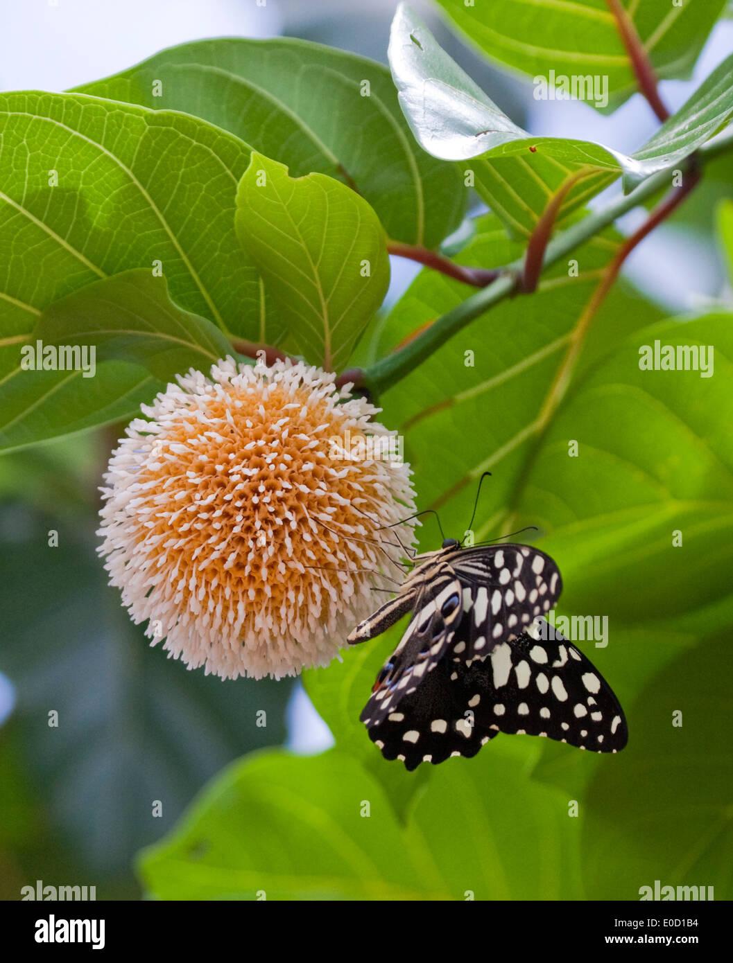 Fioritura fiore con farfalla, Murchison Falls, Uganda Immagini Stock