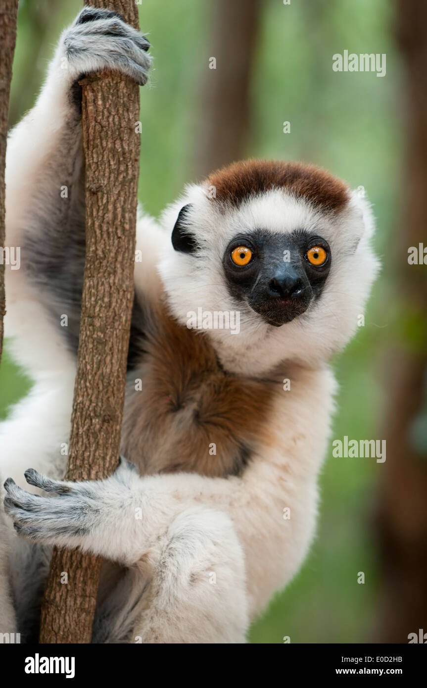 Maschio di Verreaux Sifaka, Kirindy Forest, occidentale del Madagascar (Propithecus verreauxi) Immagini Stock