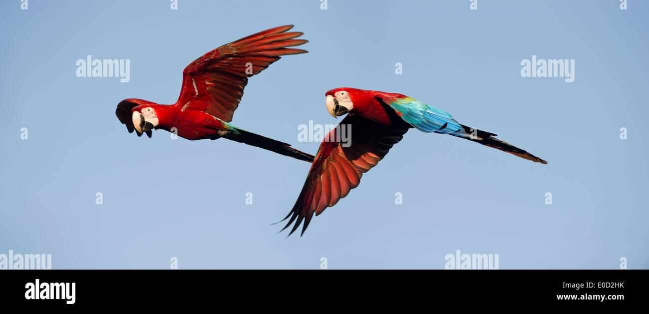 Coppia di rosso-verde (verde-winged) Macaws in volo, Chapada dos Guimaraes, Brasile (Ara chloropterus) Immagini Stock
