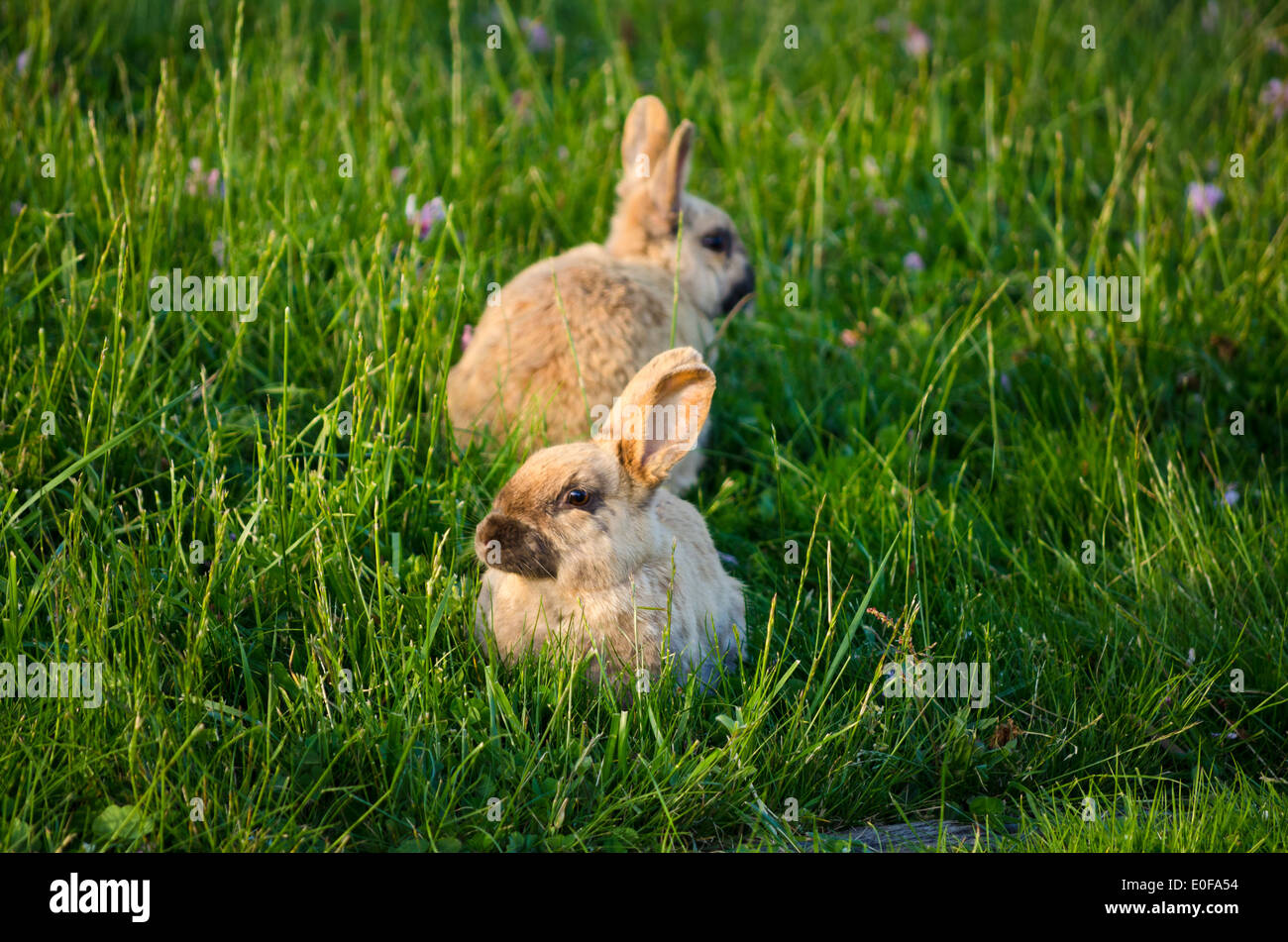 Due simpatici coniglietti o conigli in erba. Immagini Stock