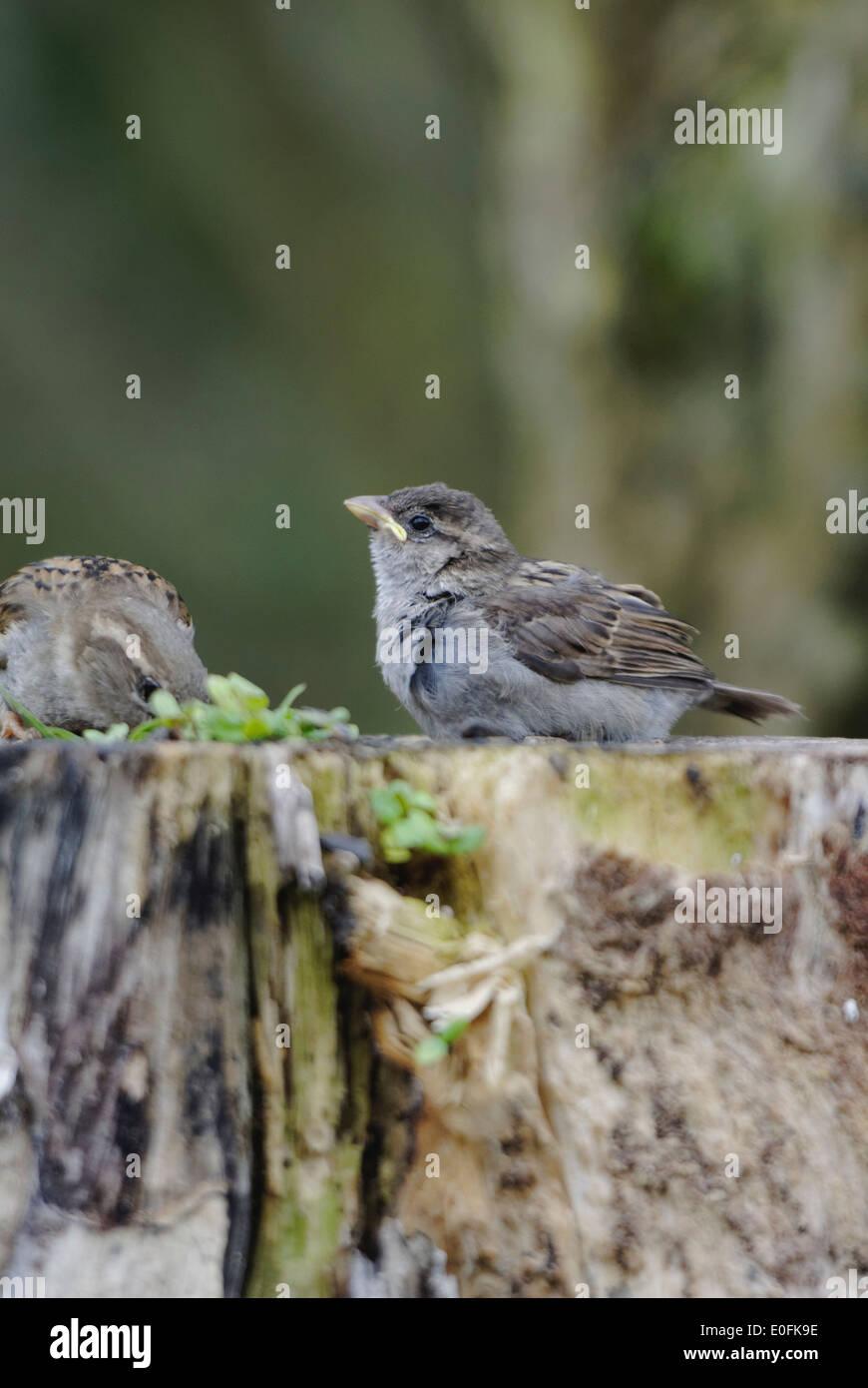 Giardino degli uccelli in Galles: sparrow alimenta la sua giovane e inesperto esigente sul cibo trovato su un ceppo di albero Foto Stock