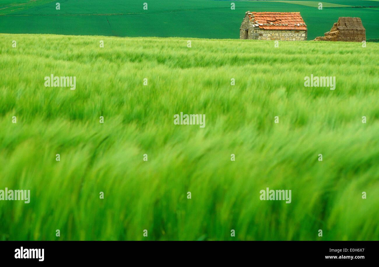 Green campo di grano con fienile, Francia. Immagini Stock