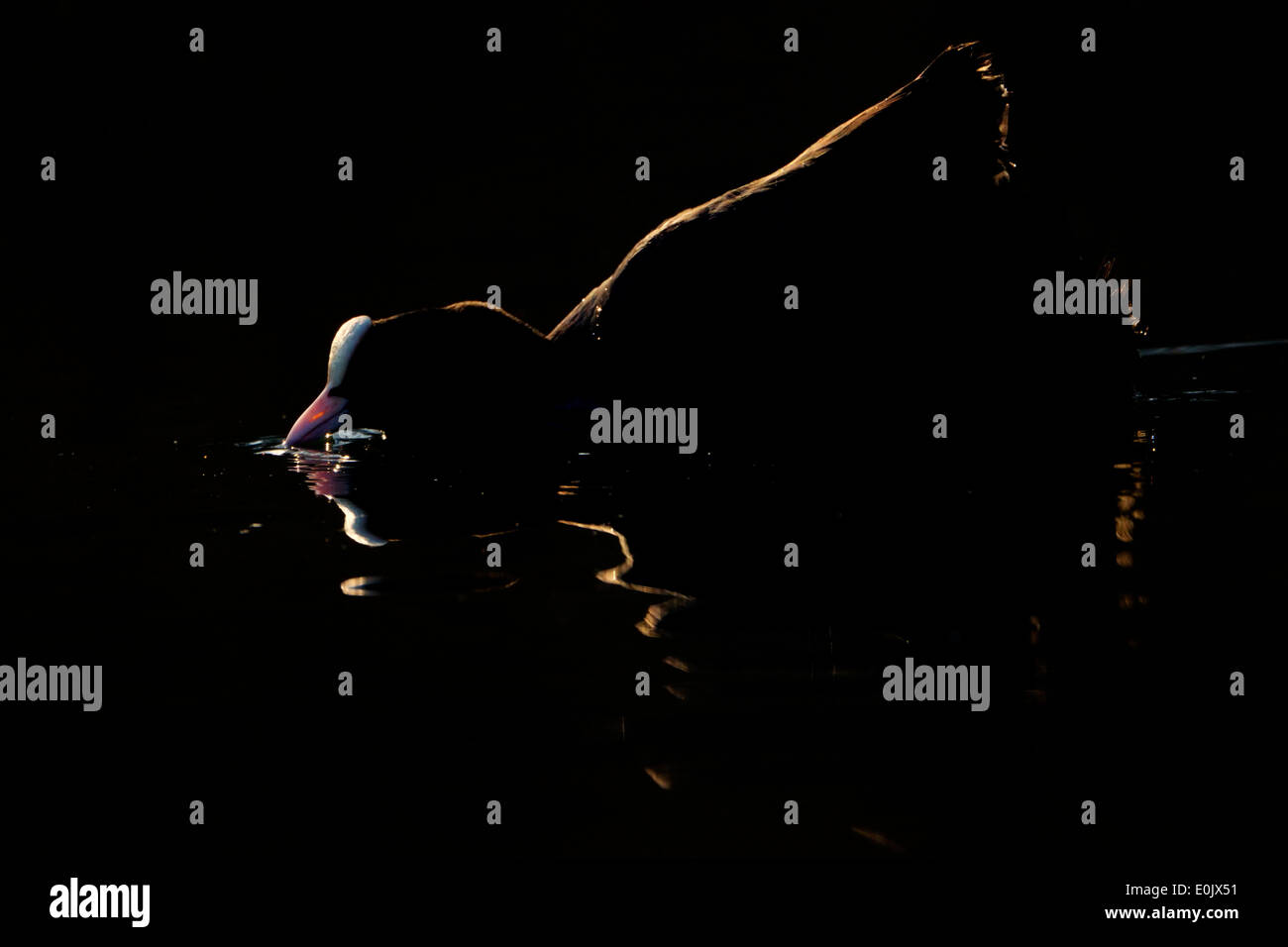 Comune folaga (fulica atra) retroilluminato mentre acqua potabile al tramonto. Immagini Stock