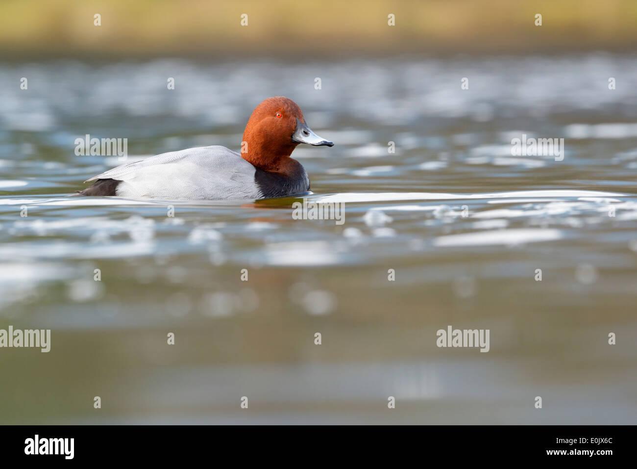 Pochard (Aythya ferina) Drake nuoto in acque con profondità di campo ridotta. Immagini Stock