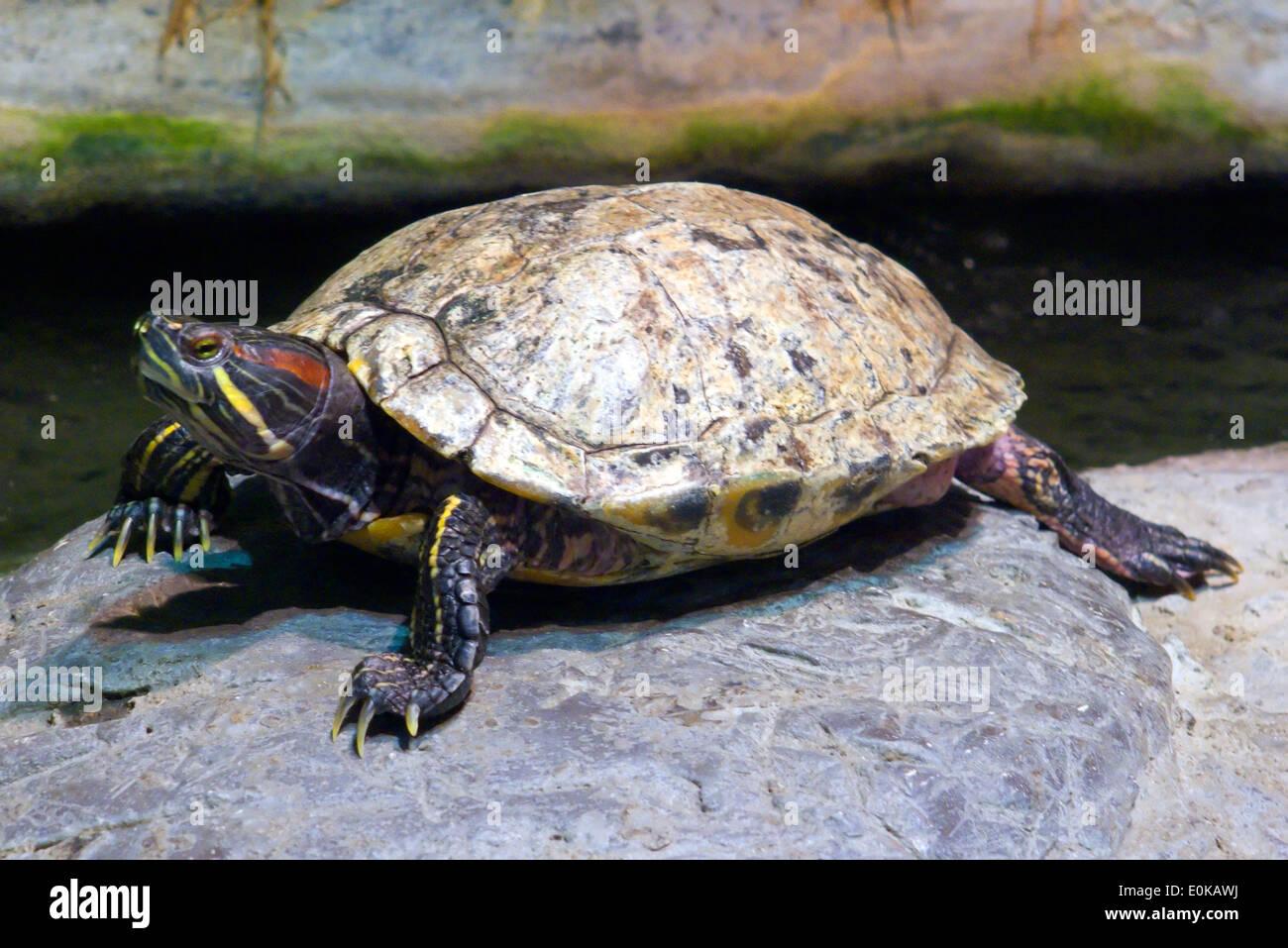 Florida Cooter tartaruga (Penisola) Cooter - Floridana peninsularis Immagini Stock