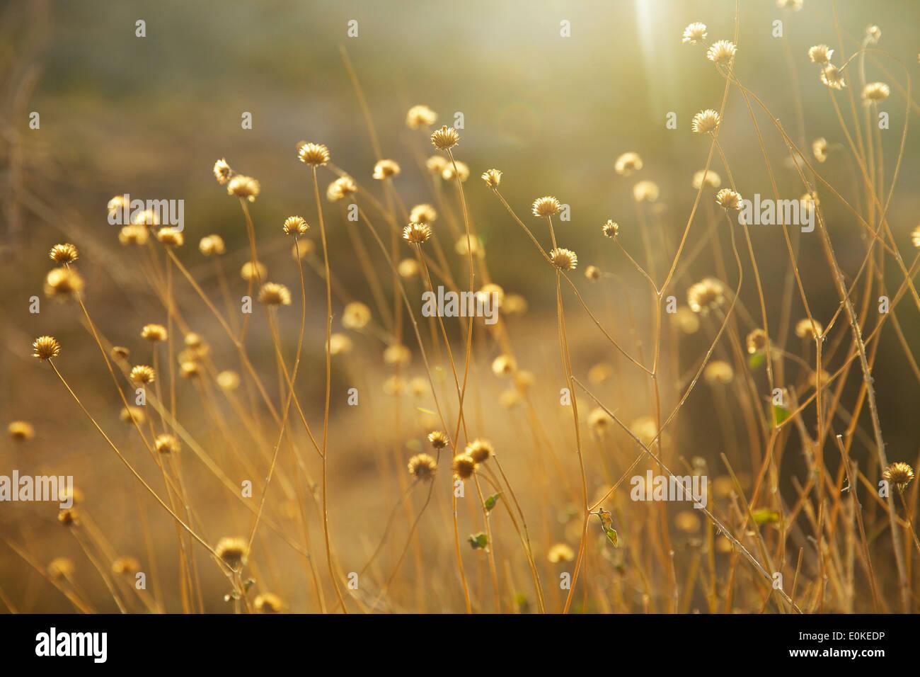 Fiori secchi sono retro illuminata con luce dorata a Joshua Tree National Park in California del Sud. Immagini Stock