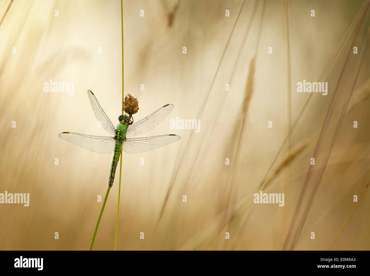 Un verde Darner dragonfly attende per l'avvertimento di raggi di sole del mattino, Oregon, Stati Uniti d'America (Anax junius) Immagini Stock