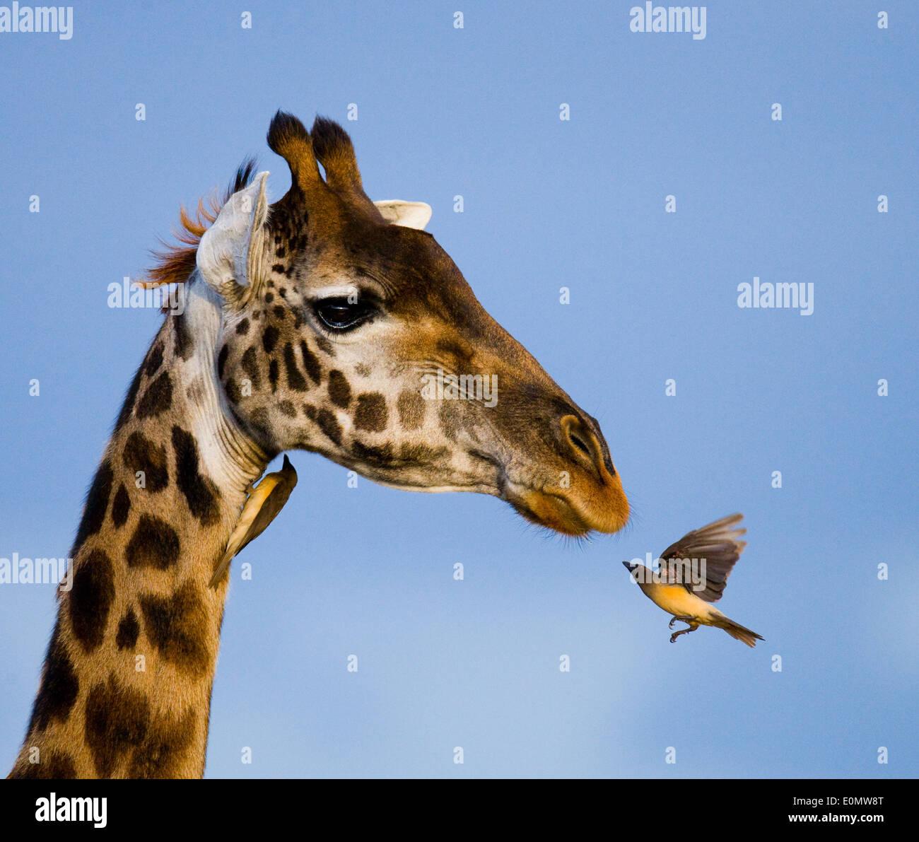 Giraffa e oxpecker, il Masai Mara National Park, Kenya (Giraffa Camelopardalis), Buphagus (sp). Immagini Stock