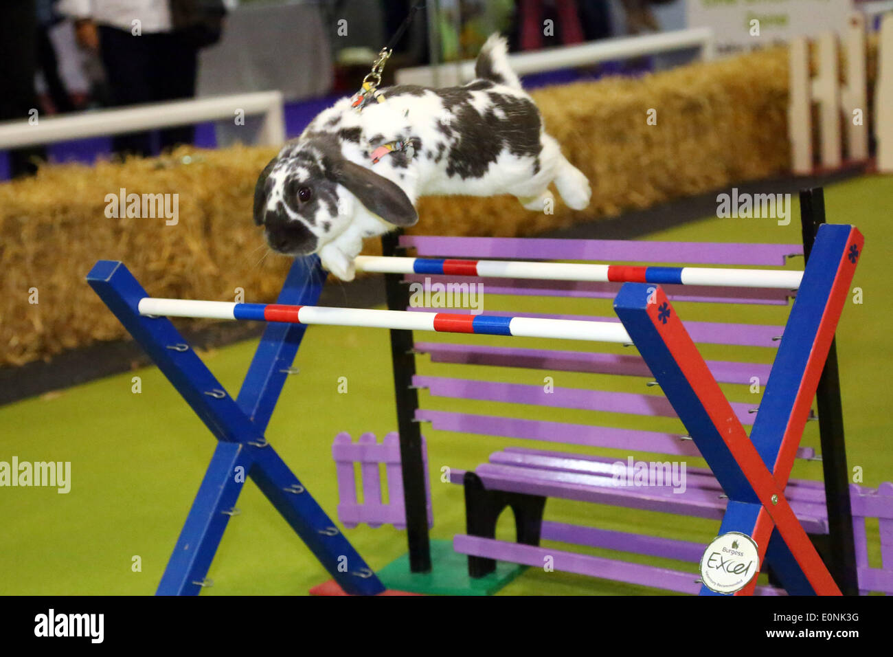 Londra, Regno Unito. Il 17 maggio 2014. Coniglio show jumping presso il coniglio Grand National con conigli dalla Svezia al London Pet Show, Earls Court di Londra. Credito: Paul Brown/Alamy Live News Immagini Stock