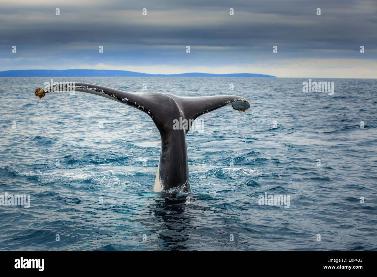 Fluke di una balena franca australe (Eubalaena australis), vicino a Busselton, Australia occidentale Immagini Stock