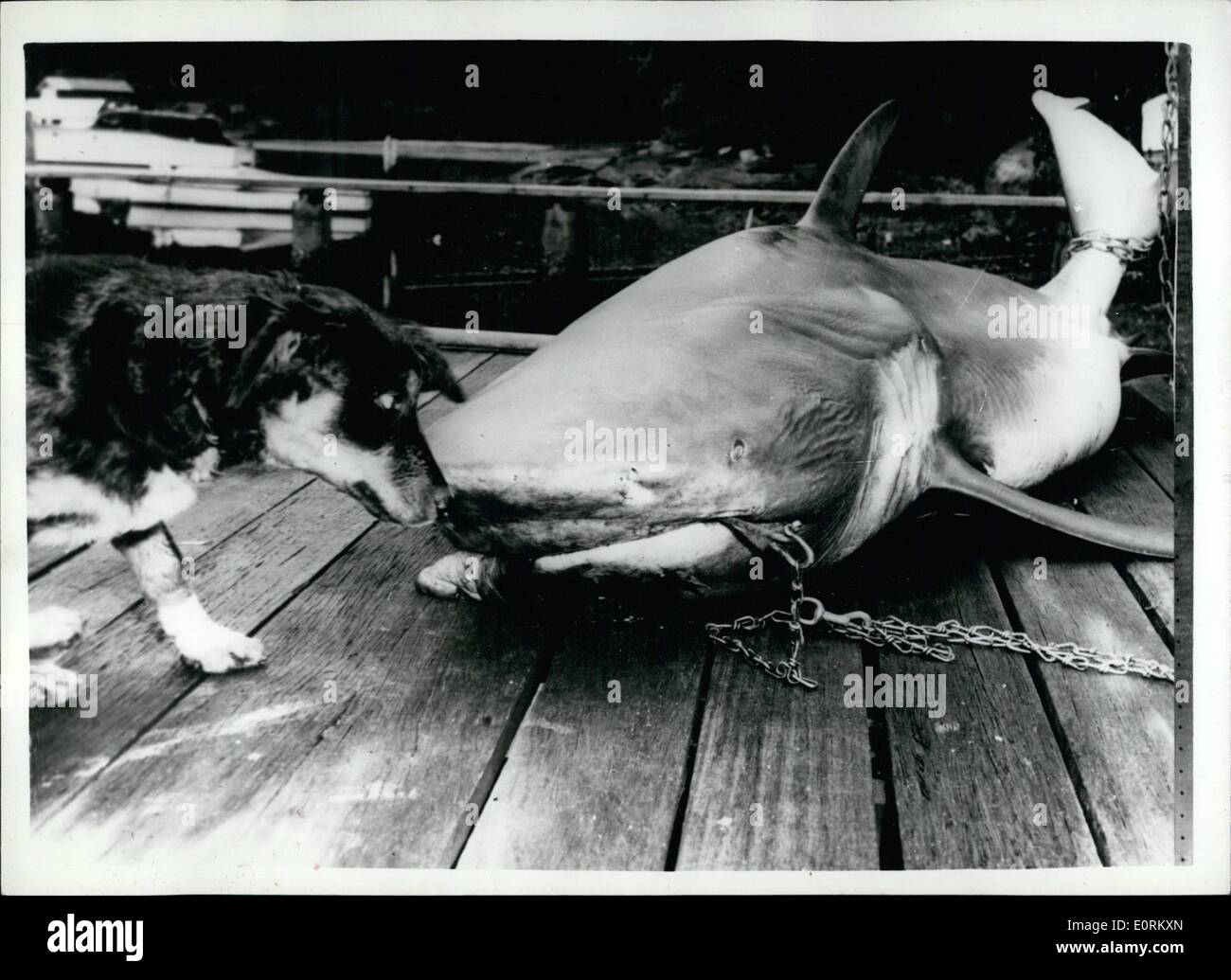 Gen 01, 1960 - non sto veramente paura.... o sono io? Il cane e il killer Shark ... A 10 ft shark è stato catturato nel centro porto, Sydney, Australia recentemente - vicino al luogo in cui tredici anni di Kenneth Murray era stato attaccato un paio di giorni precedentemente.. Il ragazzo in gamba destra dovevano essere amputata dopo l'attacco - e la sua condizione è critica. I pescatori che ha catturato lo squalo sono convinti che è la creatura che ha reso l'attacco. Esso è tagliato aperto in uno sforzo per dimostrare che si tratta di un utente malintenzionato. Immagini Stock