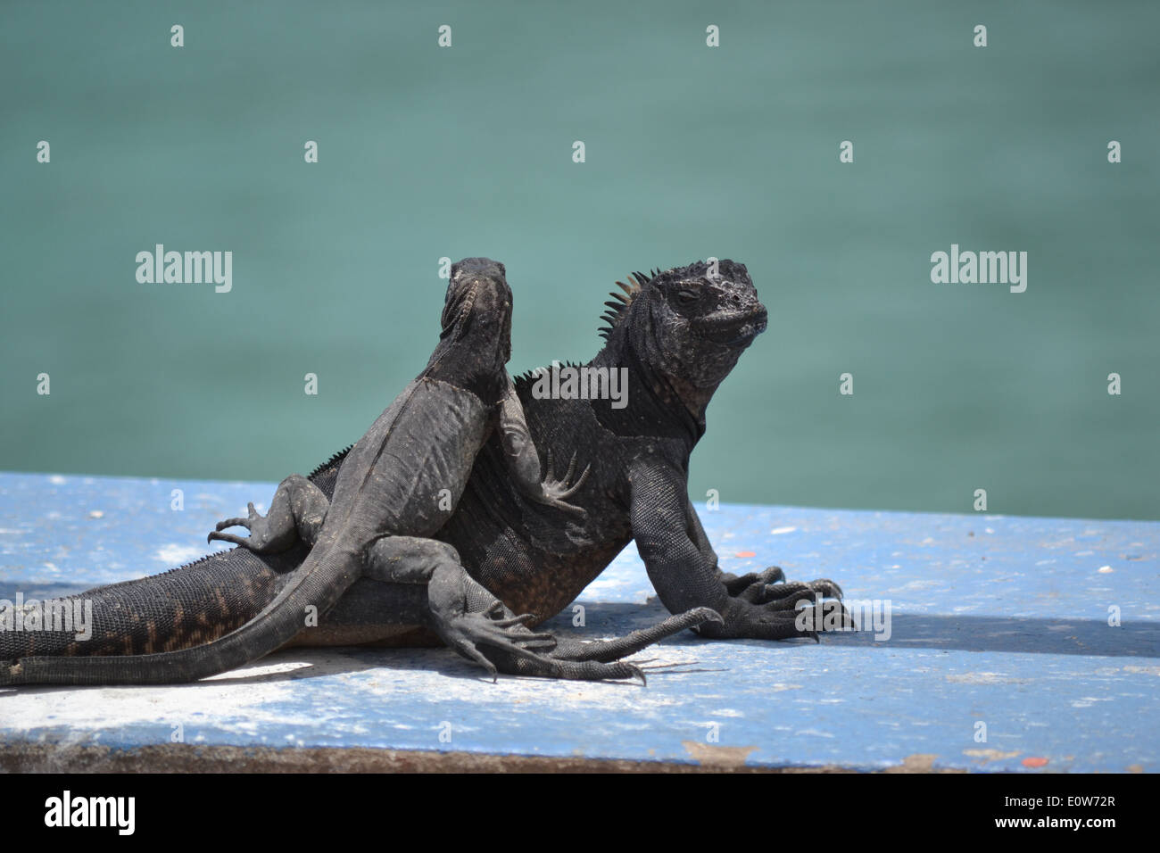 La mamma e il suo bambino iguana Foto Stock