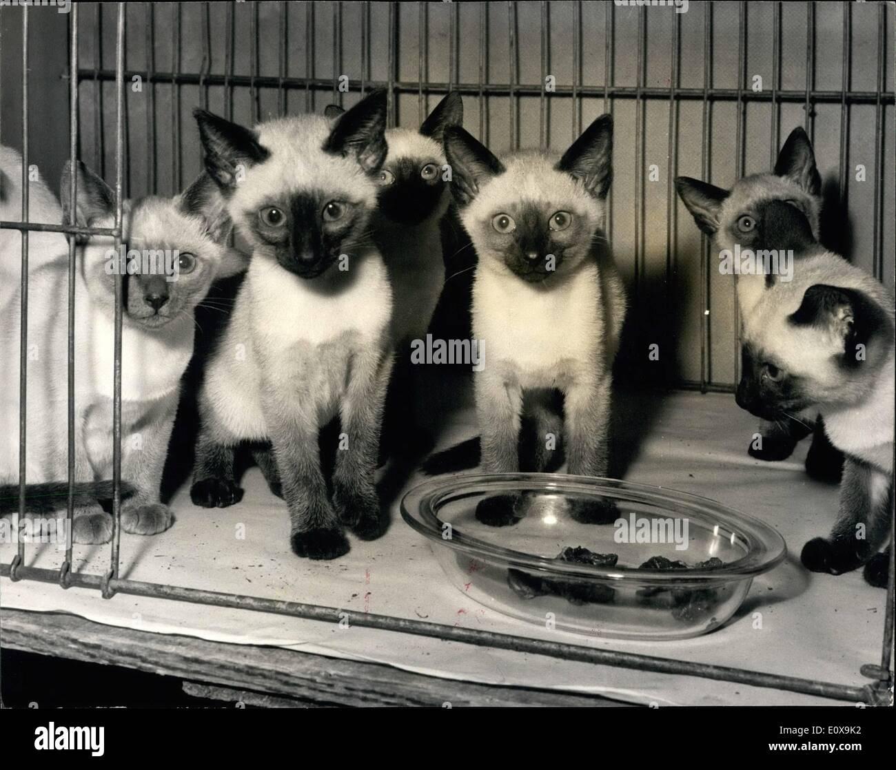 Il 12 Dic. 1965 - National Cat Club Championship Show; Mostra fotografica di una cucciolata di 7 Siamese posseduto dalla sig.ra D. Gregorio di Heald Green Immagini Stock