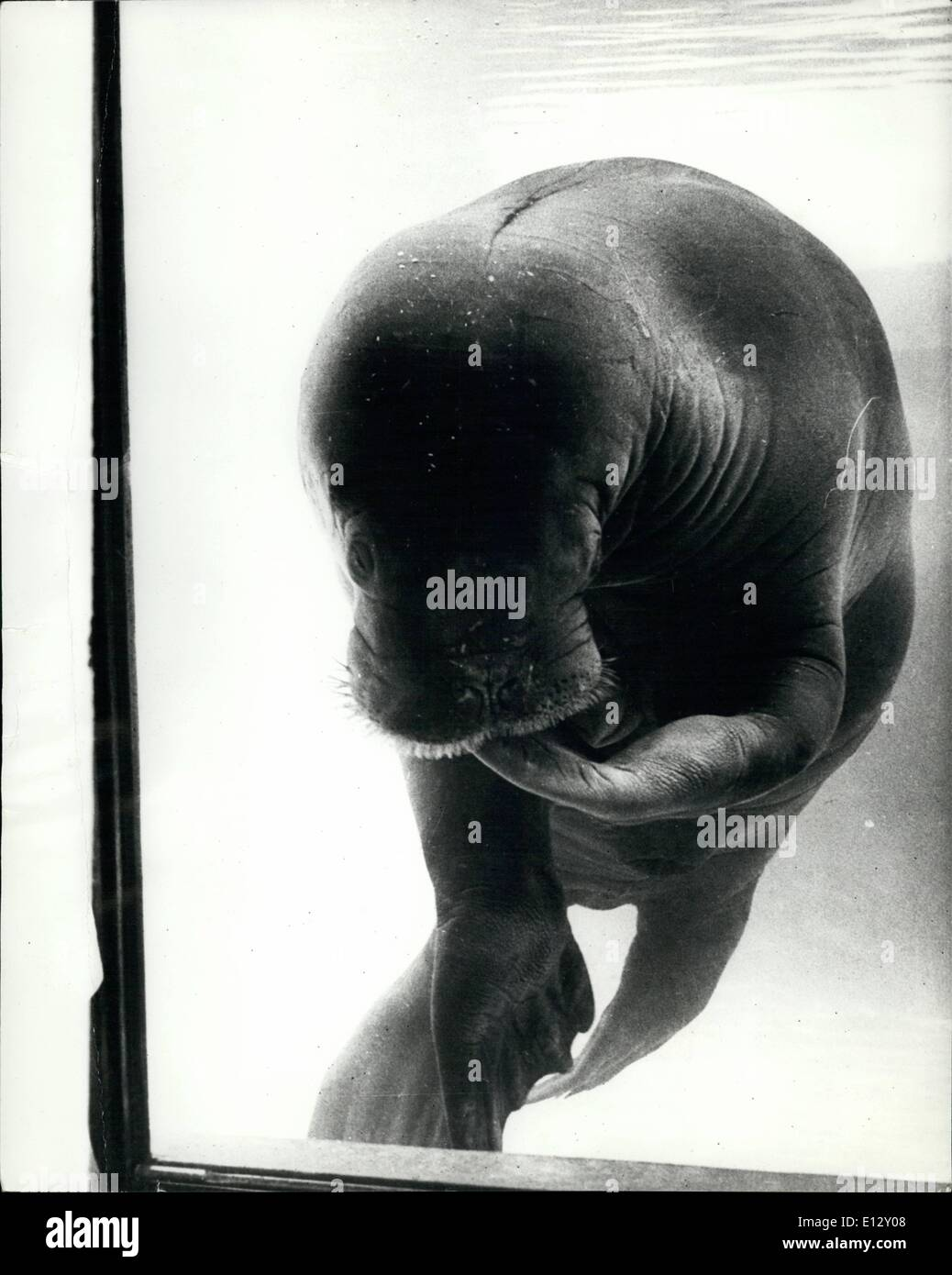 """Febbraio 26, 2012 - lo chiamano schivo. Timida ans timido, Woofy ha guadagnato il nome 'schivo"""" nella sua casa a Marineland, California. Uno dei quattro trichechi il 2.700 lb. mammifero è visto qui a malincuore in posa per questa immagine. È sempre possibile sapere quando Woofy è imbarazzato - egli aspira la sua pinna! Mostra fotografica di:- Dashful Woofy il tricheco a malincuore pone nel suo aquarium serbatoio a Marineland, California. Immagini Stock"""