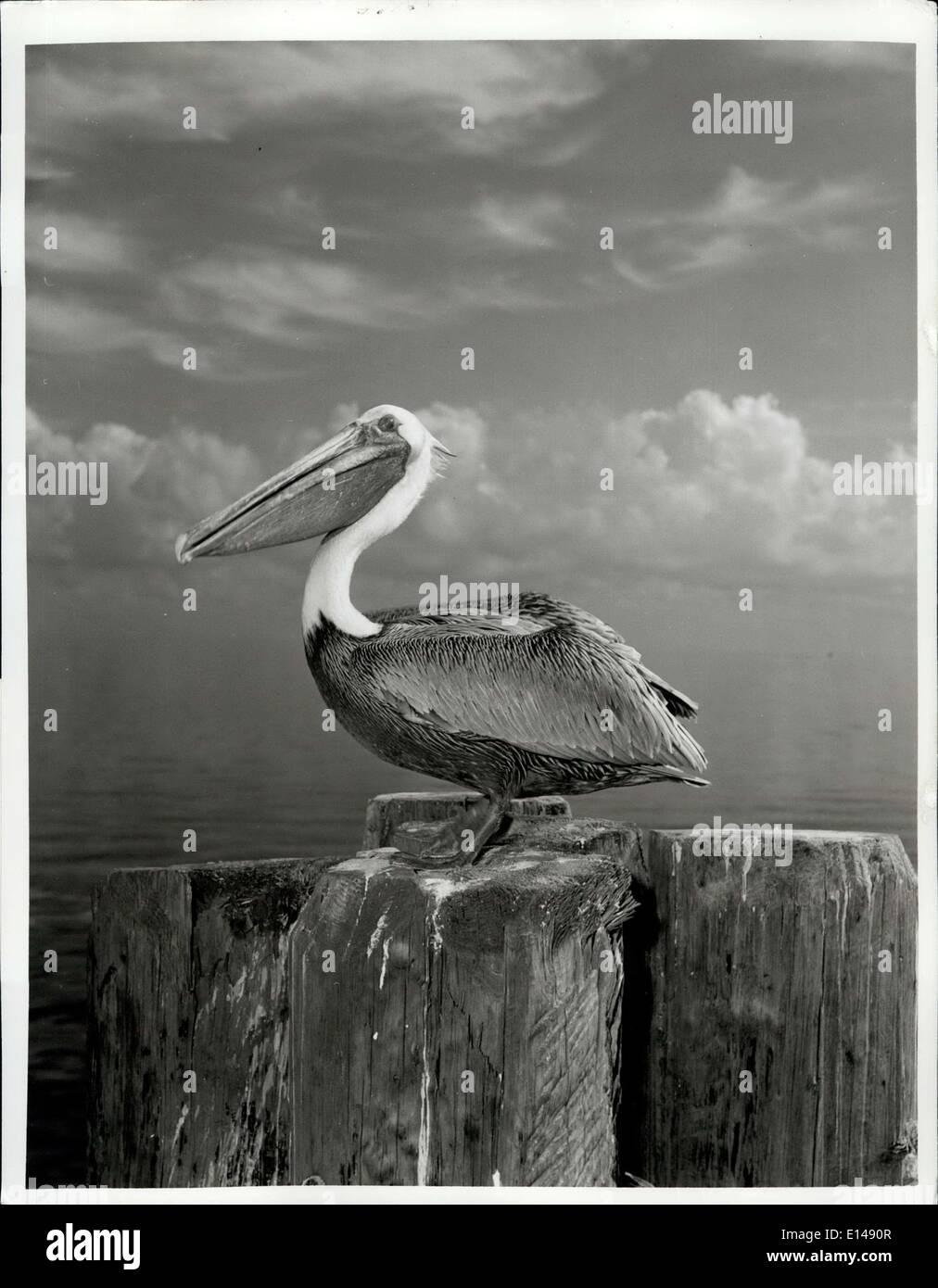 Apr. 17, 2012 - a quelli che dicono che gli uccelli sono più eleganti e belle della natura di serraglio, Florida's pelican forniscono un modo divertente di confutazione. A breve sul buon aspetto, ma a lungo sulla personalità, questi spudorata mendicanti dot i piloni della Florida aree costiere dove essi cajole quotidiana di piccoli pesci da condiscendente pescatori e visitatori.Se ogni creatura su questa terra infatti soddisfa uno scopo.La maggior parte pelican-watchers può facilmente constatare che questo fumetto waterfront scavenger è nato per far ridere la gente di nuovo come bambini. Immagini Stock
