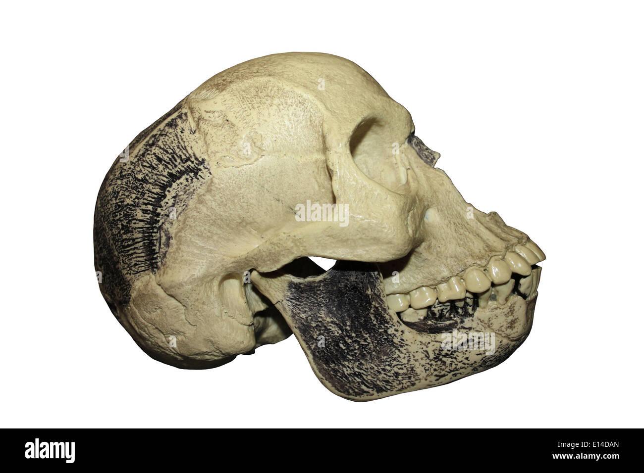 Modello di replica del 'Piltdown Man' beffa cranio Immagini Stock